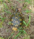 De oostelijke schildpad van de Doos royalty-vrije stock fotografie