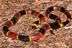 Oostelijke Coral Snake (Micrurus-fulvius) royalty-vrije stock foto's