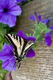 De oostelijke Tijger slikt de Vlinder van de Staart Royalty-vrije Stock Foto's