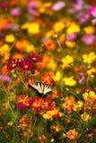 De oostelijke Vlinder van Swallowtail van de Tijger op Wildflowers Stock Foto