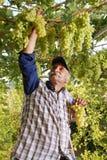 De oosterse landbouwerswijnhandelaar oogst witte druif Royalty-vrije Stock Afbeelding