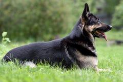 De Oosteuropese herder ligt op het gras het concept Huisdieren royalty-vrije stock fotografie