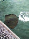 De op zee Wereld Orlando Florida van de luipaardpijlstaartrog stock afbeeldingen