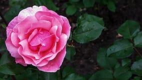 De open bloem nam toe Royalty-vrije Stock Afbeelding