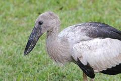 De open-gefactureerde Vogels van ooievaarsanastomus Oscitans van Thailand Royalty-vrije Stock Foto