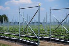 De open serrebouw met talloze metaalpolen voor het kweken van kruisbes plant - Nederland, Venlo, Limburg stock afbeelding