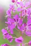 De open thee van de bloemwilg Stock Afbeeldingen