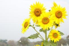 De open tuin van het zonnebloemgebied Stock Afbeeldingen