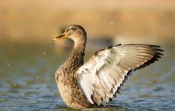 De open vleugels van de wilde eendeend Stock Afbeeldingen