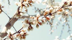 De open witte bloesem van de appelbloem en half-closed knoppen op tak zonder bladeren tegen duidelijke blauwe hemel Selectieve na stock video