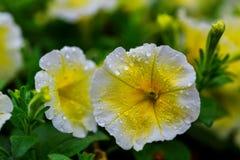 De openluchtbloesem van de kleuren macro enige gele en violette bloeiende hibiscus Royalty-vrije Stock Afbeeldingen