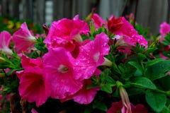 De openluchtbloesem van de kleuren macro enige rode en violette bloeiende hibiscus Royalty-vrije Stock Fotografie