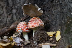 De openluchtdiemacro van een paddestoel wordt geschoten twee paddestoeltribune in het bos onder het blad Royalty-vrije Stock Fotografie