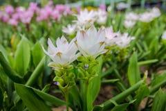 De openluchtmist behang van het achtergrondtuinpark onderaan de Kurkumasessilis van de bloemtuin de Tropische bossen van Thailand Stock Afbeelding