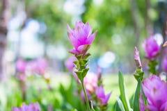 De openluchtmist behang van het achtergrondtuinpark onderaan de Kurkumasessilis van de bloemtuin de Tropische bossen van Thailand Stock Foto