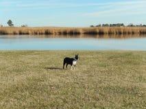 De Openluchtpret van Boston Terrier stock afbeeldingen