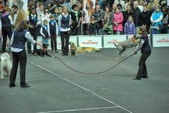 De opgeleide honden presteren bij de show royalty-vrije stock foto