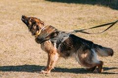 De opleiding van Duitse herderDog Bijtende hond royalty-vrije stock foto