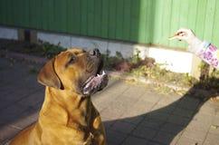 De opleiding van een hond Stock Foto