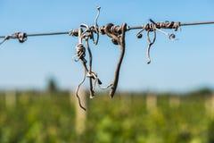 De oplichter van besnoeiingswijnstokken op de gidsdraad in de wijngaard royalty-vrije stock afbeeldingen