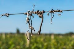 De oplichter van besnoeiingswijnstokken op de gidsdraad in de wijngaard royalty-vrije stock fotografie