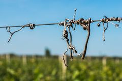 De oplichter van besnoeiingswijnstokken op de gidsdraad in de wijngaard stock fotografie