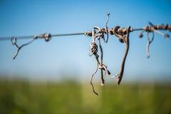 De oplichter van besnoeiingswijnstokken op de gidsdraad in de wijngaard stock foto's
