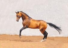 De opmerkelijke spelen van het pureblood akhal-teke paard Royalty-vrije Stock Fotografie