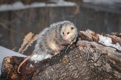 De opossum Didelphimorphia kijkt uit van boven op Logboek Stock Foto's