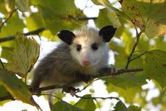 De Opossum van de baby Stock Afbeeldingen