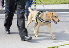 De opsporingshond van douanedrugs Stock Foto's