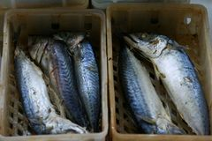 De opstelling van makreelvissen stock fotografie
