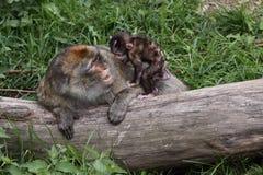 De opvoeding van Barbarije macaque stock afbeelding