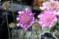 De Opwinding Rose Pink ` van Scabiosacolumbaria ` stock afbeelding