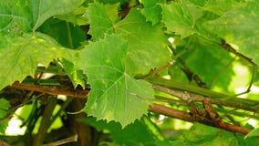 De opwinding van druivenbladeren op de wind stock footage