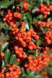 De opzichtige rood-oranje bessen van Pyracanthacoccinea ` Lowboy ` royalty-vrije stock foto's
