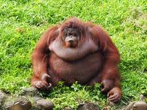 De Orang-oetan Utan van Bornean Stock Afbeeldingen