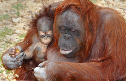 De Orang-oetan Utan van de orangoetan   Royalty-vrije Stock Foto