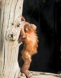 De orang-oetan van de baby Royalty-vrije Stock Foto's