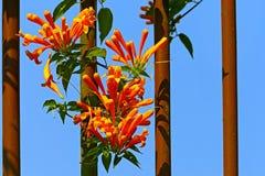 De orange blommorna för trumpetranka Arkivfoto