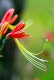 De orange och röda härliga blommorna Arkivbild