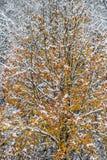 De orange sidorna av en Bradford Pear Tree täckas med vit snö Fotografering för Bildbyråer