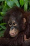 De orangoetan Royalty-vrije Stock Afbeelding