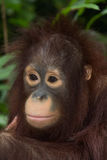 De orangoetan Royalty-vrije Stock Fotografie