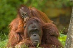 De orangoetan en de baby van de moeder Stock Foto's