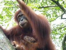 De orangoetan en de baby van de moeder Stock Foto
