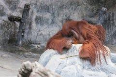 De orangoetan ligt op de rots Royalty-vrije Stock Afbeelding