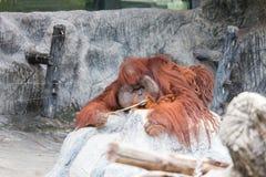 De orangoetan ligt op de rots Royalty-vrije Stock Afbeeldingen
