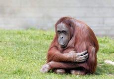De orangoetan van Bornean Royalty-vrije Stock Foto's