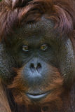 De Orangoetan van Bornean Stock Afbeeldingen